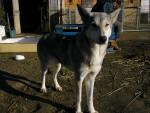 Atika - (3 años)