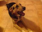 Perro Effie -  Hembra (5 años)