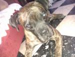 Perro brutus -  Macho (8 años)