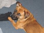 Perro Lily -  Hembra (11 meses)