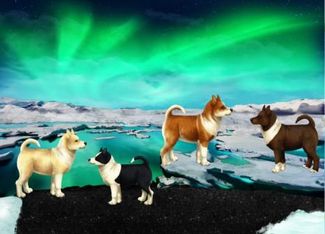 ¡4 nuevas apariencias posibles para el pastor islandés!